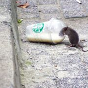 Illegal Dumping Breeds Rats